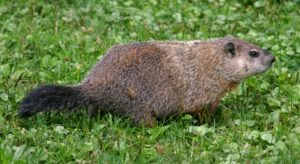 woodchuck by doug wechsler